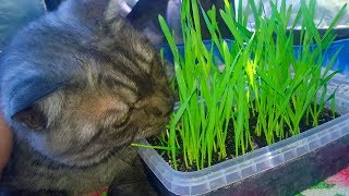 How to Grow Cat Grass / My Cat likes to eat grass