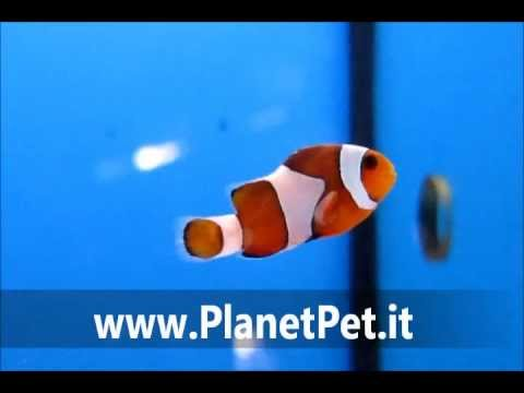 Amphiprion Ocellaris – www.PlanetPet.it
