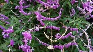 Salvia leucantha - Santa Barbara - Purple Mexican Bush Sage HD 01