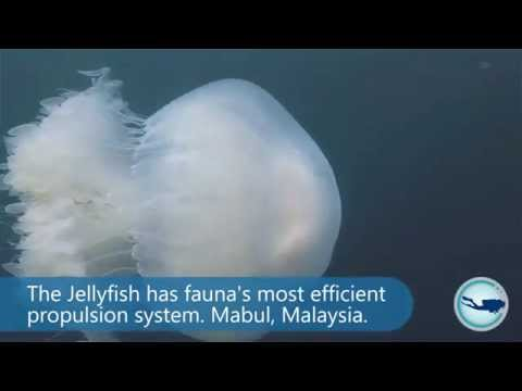 Jellyfish - they invented efficient propulsion. Mabul Malaysia.