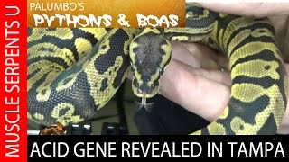 Acid Gene Ball Pythons with Josh Jensen at Tampa Repticon- Part 5