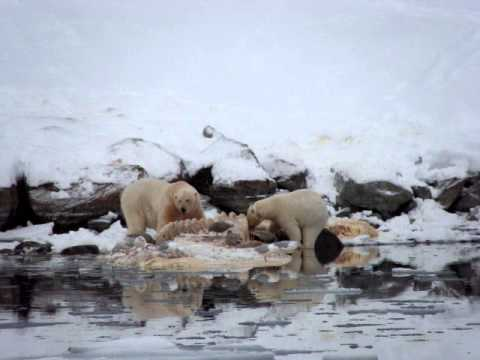 Polar Bears Eating a Whale