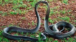 Snake Mating