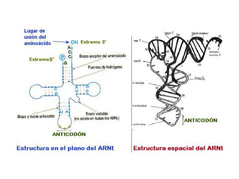 ARN de transferencia (ARNt)