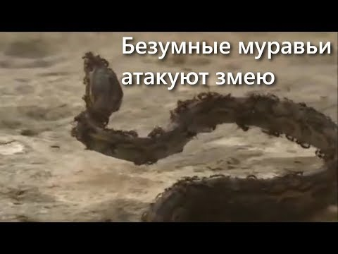 ВЕРСУС!  МУРАВЬИ! Армия маленьких монстров напала на огромную змею!