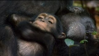 Chimpanzee - euronews cinema - Oscar the orphan chimp gets his name in lights
