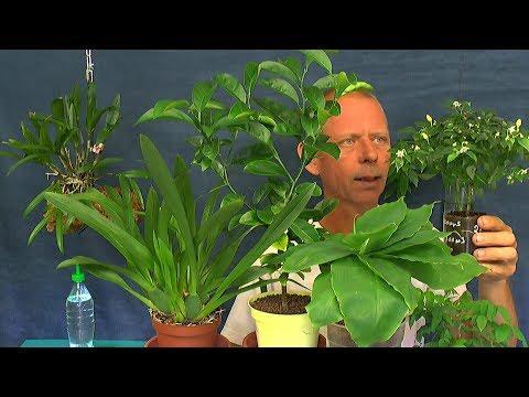 Exotische Pflanzen Bonsai Mandarine weiter vorbereiten in welches Substrat