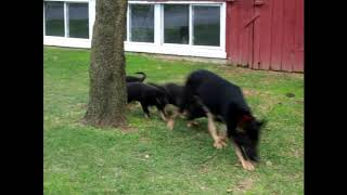 German Shepherd Puppies For Sale Chris Miller