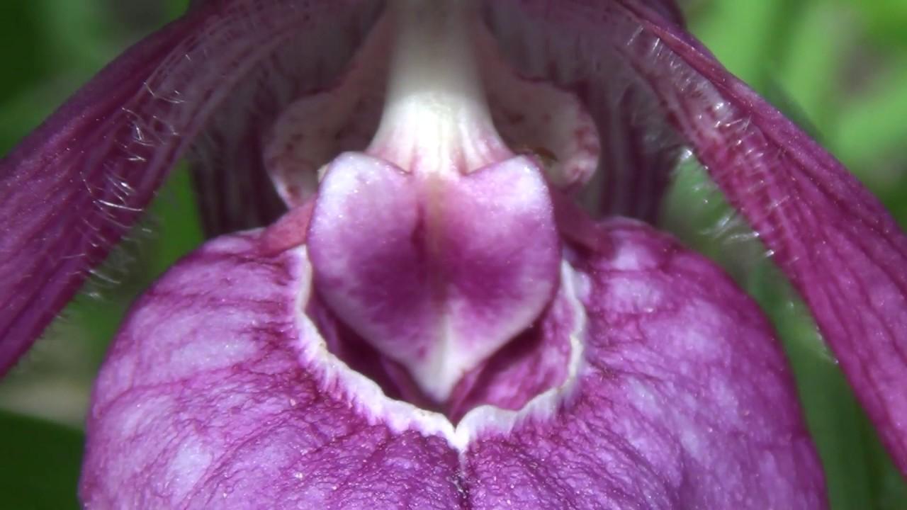 Цветок ирис орхидея