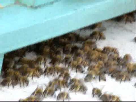 Μέλισσες φρουρούν την κυψέλη τους Music Videos