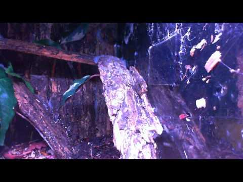 Avicularia diversipes. Avicularia fasciculata