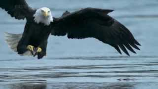 AQUILA VS SALMONE - BALD EAGLE VS SALMON (HD)