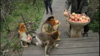 Golden snub-nosed monkeys in central China