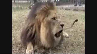 Feeding A Lion & Tiger - Tiger Flees From Lion
