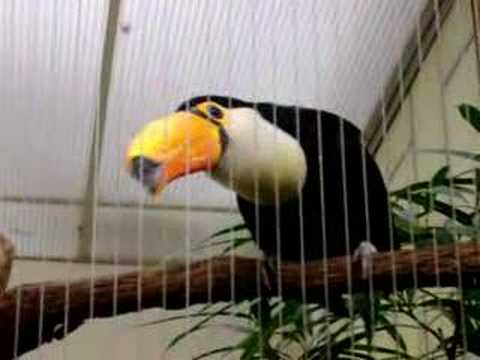 Tucan is listed (or ranked) 40 on the list The Top 100 Weirdest, Most Amazing Creatures Ever On Earth
