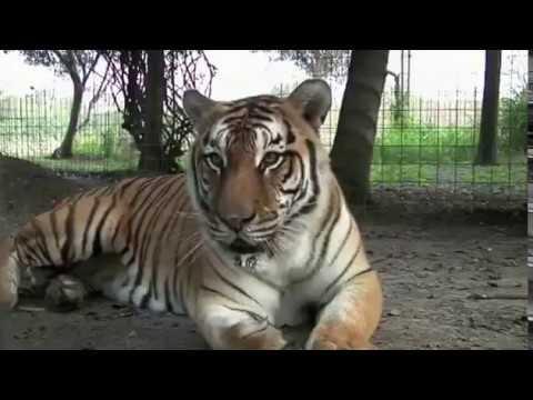 Aneh Tapi Nyata. Harimau ini bersuara seperti sapi.