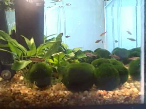 Marimo moss ball care how to save money and do it yourself for Betta fish moss ball
