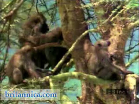 Baboons in Their Natural Habitat (Britannica.com)