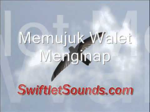 Swiftlet Sound - Memujuk Walet Menginap Internal video