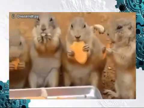 Соревнования сусликов по скоростному поеданию моркови