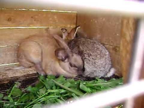 sexo animal conejos