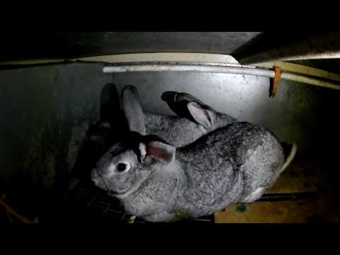 Как покрыть МНОГО крольчих одним кролем быстро.