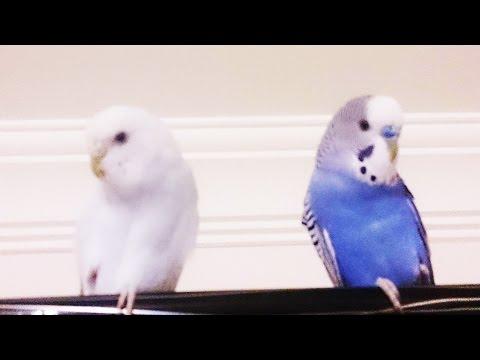 Muhabbet Kuşlarım Maviş, Pamuk ve Yavruları