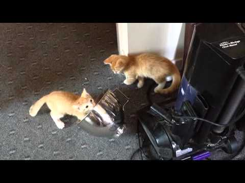 Cute kitten cats play with metal bowl