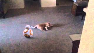 BB8 try to zap cat