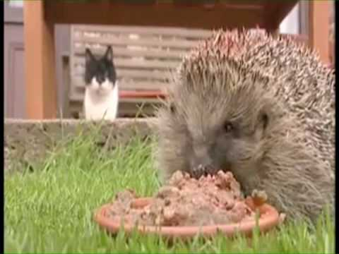 Overweight Hedgehog - Parry Gripp