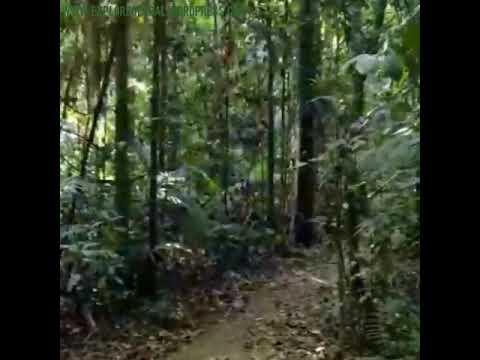 Cassowary Suche im Djiru Nationalpark, Mission Beach - Queensland
