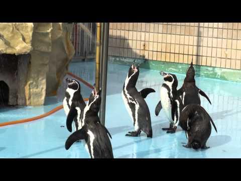 王子動物園 ペンギンの鳴き声と喧嘩