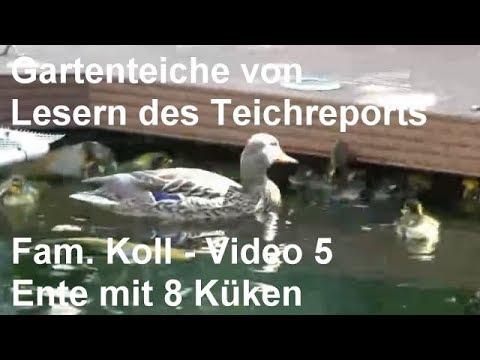 Gartenteich Der Familie Koll [Video 5] - Ente Am Teich Mit Acht Entenküken