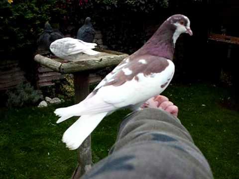 hand tame birmingham roller pigeon