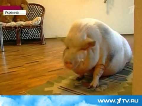 1 канал  Карликовая свинья у донецкой семьи выросла в увесистого хряка