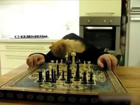 Коточел играет в шахматы Юмор! Прикол! Смех