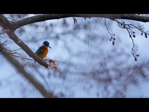 Eisvogel, Levinscher Park Göttingen, Januar 2015