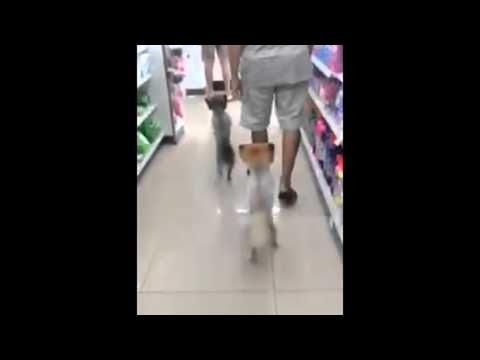 二本足で見事に2足歩行しながら歩く犬!?しかも2匹!