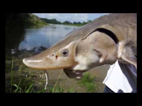 Sturgeon Fishing Alberta Canada