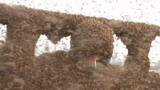 Honey Pie! A million+ bees cling to world record breaker