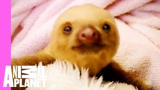 Baby Sloths Get Swaddled | Too Cute