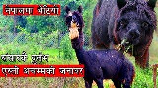नेपालमै भेटियो सन्सारकै दुर्लभ एस्तो अचम्मको जनावर ।  Alpacas in Nepal