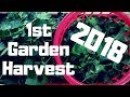 FIRST HARVEST 2018 Turnips Radishes And Berries mp3