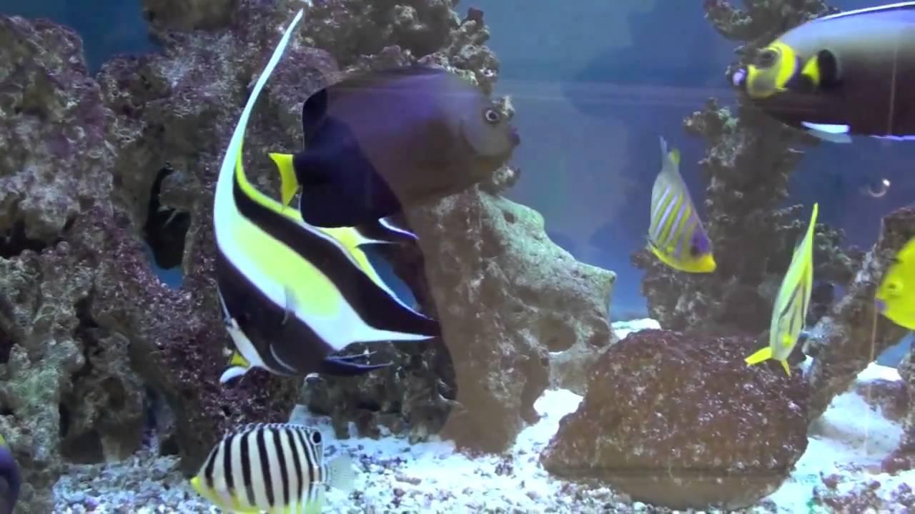 Marine Angelfish Tank 2011 - YouTube