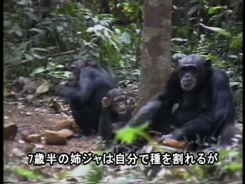 [日本語字幕版]Jokro: the Death of an Infant Chimpanzee