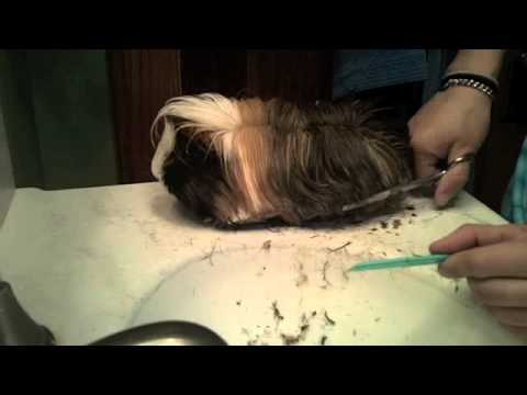 Cutting A Long Haired Guinea Pigs Hair YouTube