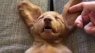 Funny animal video - Petting this sleeping puppy looks like the ultimate stress-relief