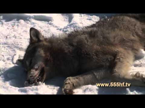 Снятие шкуры волка.