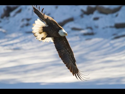 Taff Russ - Eagle Song