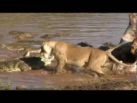 Lion Almost Loses Head to Croc